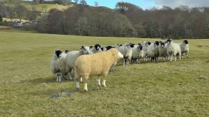 Shirley with the other sheep in the field