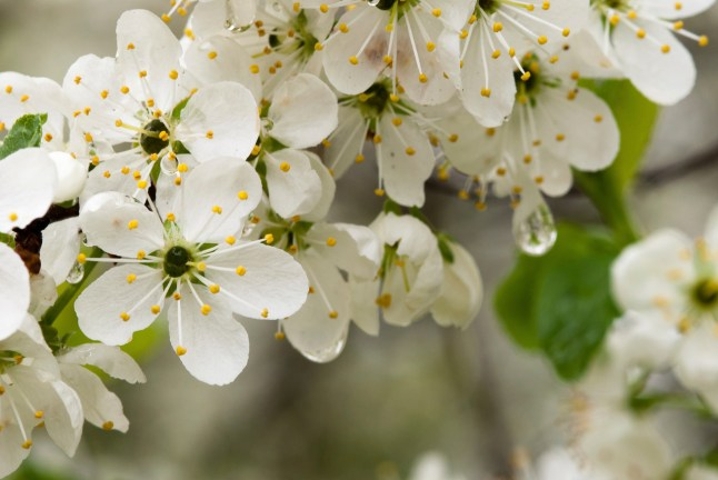 A celebration to herald the arrival of spring in Westmorland and the damson blossom