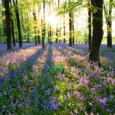 Beautiful carpet of bluebells