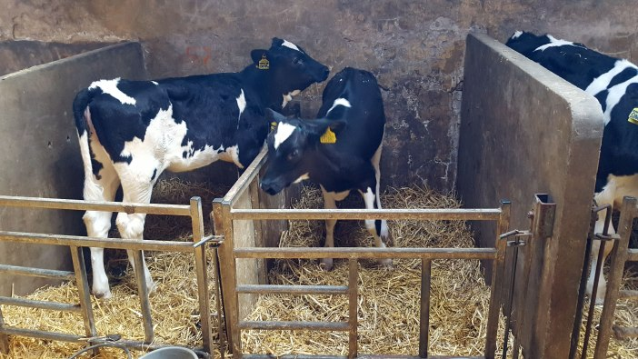 Baby calves in the farms maternity ward