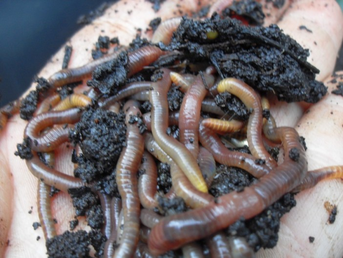 worms-from-coffee-compost-pile
