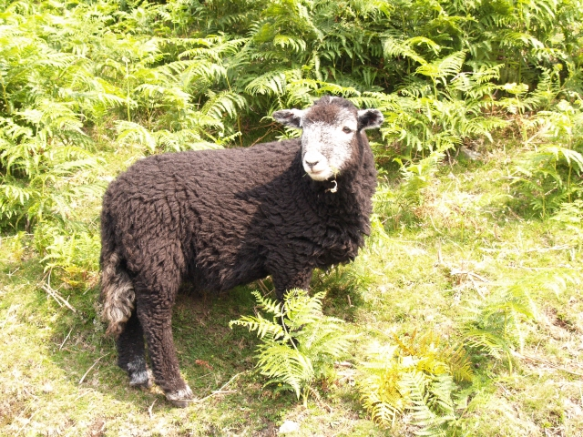 Herdwick sheep, a native Lake District breed