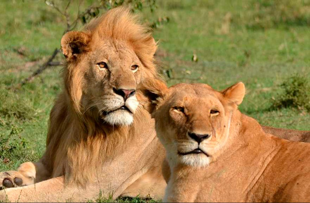 Lion and lioness; honeymoon