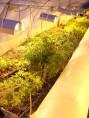 Exploitation des plantes mères en fin février.