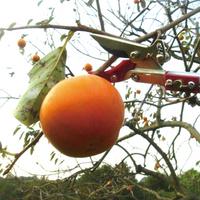 高枝切鋏-木の実の収穫