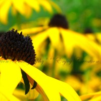 Black Eyed-Susans