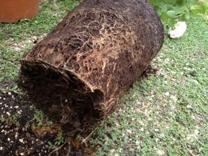 鉢植えピエールの根鉢