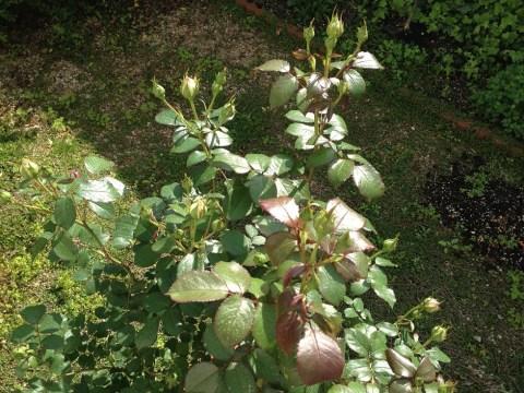 ピエールドゥロンサールの鉢苗の蕾