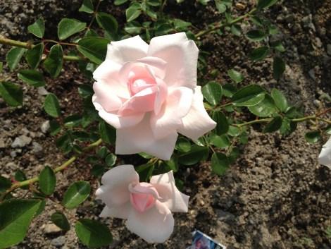 ニュードーンのお花アップ01