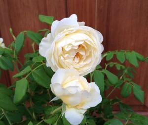 クレアオースチンの花