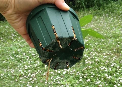 バラの挿し木鉢から根っこ