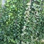 殺風景なブロック塀をアイビーで覆いました^^
