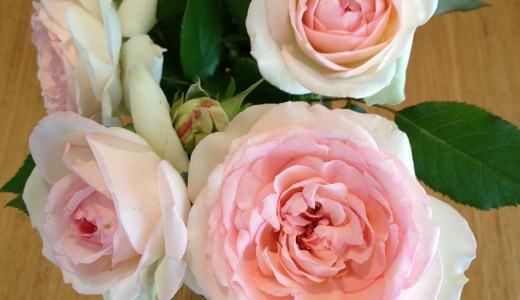 バラの初心者向けピエールドゥロンサールの二番花が咲きました^^