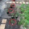 バラって鉢植えと地植えで実際にどのくらい違うのか?