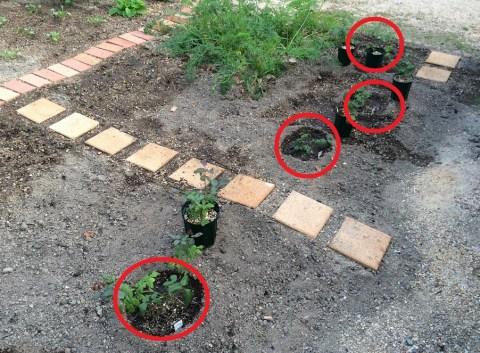 地植えした苗の全体