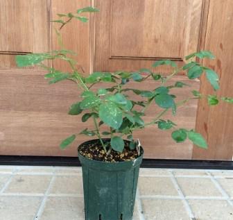 シャルロットオースチン鉢植え1