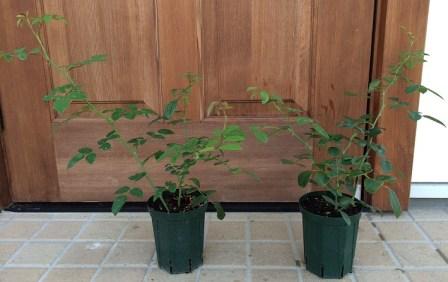 クレアオースチン鉢植え1