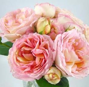 オトメンパパが欲しいバラのランキング