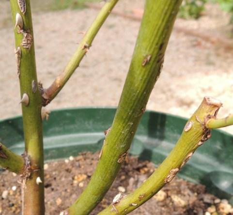 クレアオースチンの茎にシワ2