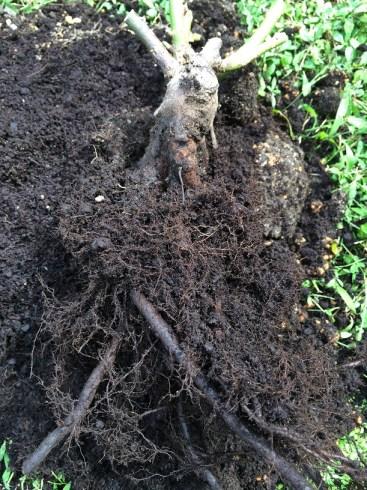 クレアオースチンの根っこ1