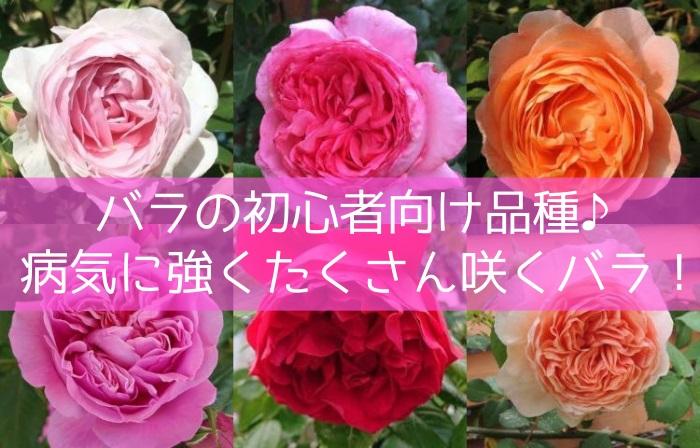 バラの初心者向け品種!病気に強くたくさん咲くバラ