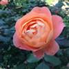 夏剪定後のバラ(イングリッシュローズ)が咲きました
