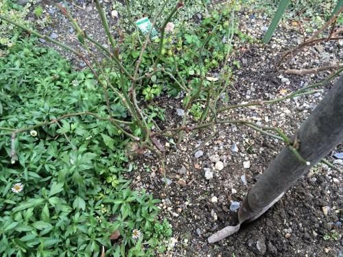 バラ地植え苗の30cmにスコップを入れる.JPG