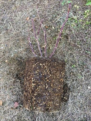 ローズポンパドゥールの根鉢全体