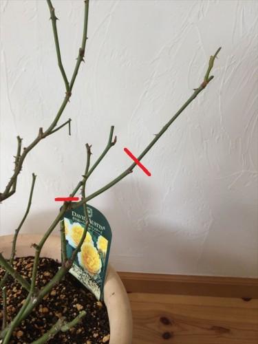 シャルロットオースチンの冬剪定分岐した枝を1本に