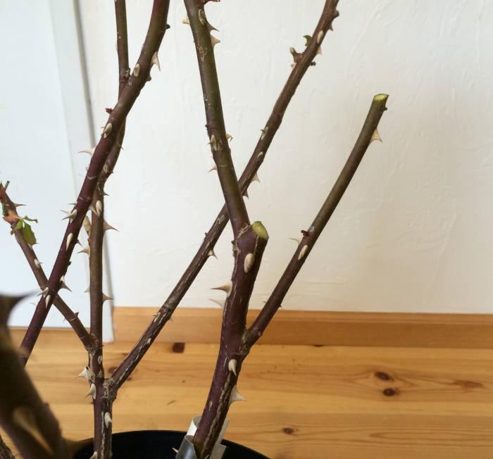 分岐したバラの枝をカット2