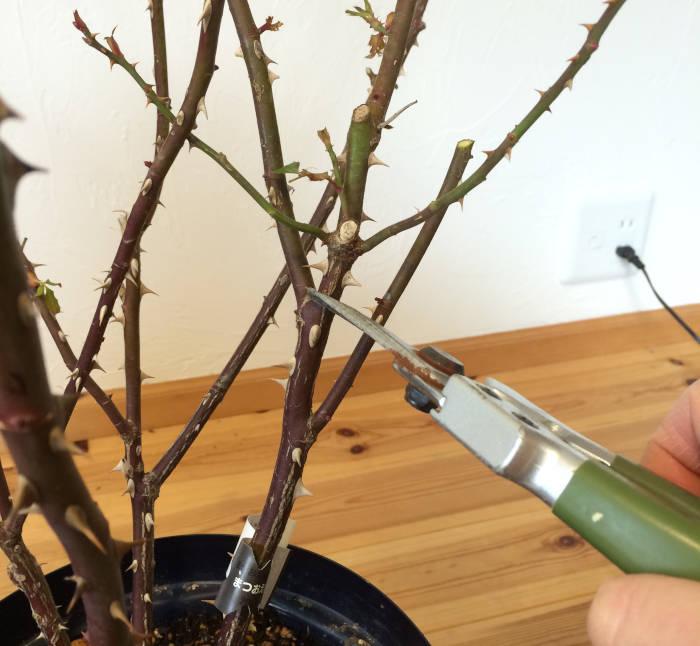 分岐したバラの枝をカット1