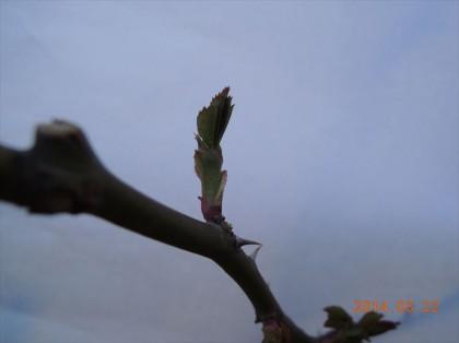 シャルロットオースチンの芽かきアフター