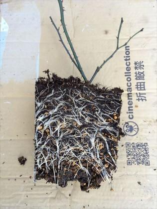 ジェネラスガーデナーの根鉢