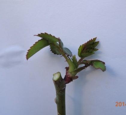 2つめの強い芽の上で切る