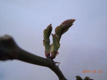 シャルロットオースチンの芽かきビフォー