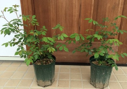 クレアオースチン鉢植え