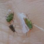 片栗粉で死んだアブラムシ