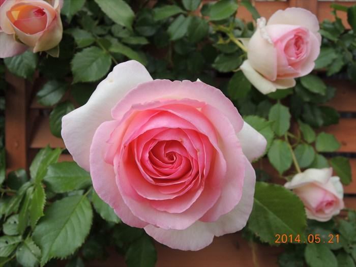 ピエールドゥロンサールが開花2