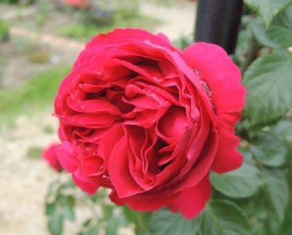 ルージュピエールドゥロンサールの開花3