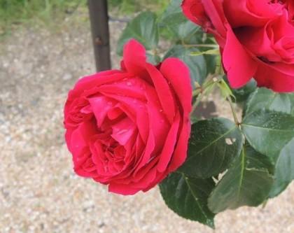 ルージュピエールドゥロンサールの開花2