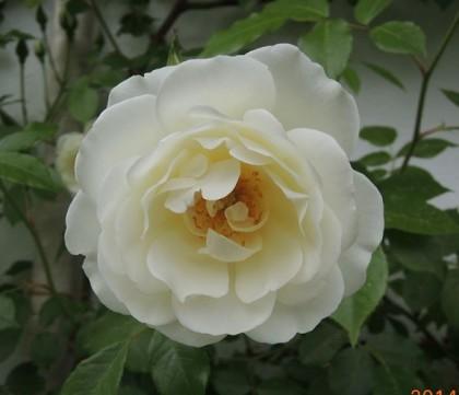 つるアイスバーグが開花7