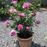 ローズポンパドゥール鉢植え1