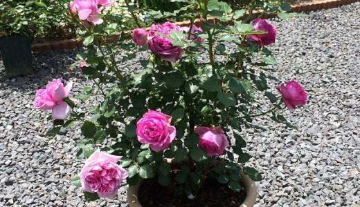 ローズポンパドゥールが開花!花持ちは?