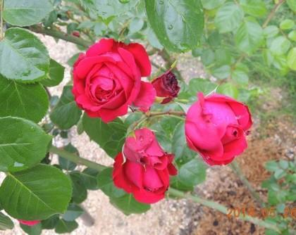 ルージュピエールドゥロンサールの開花1