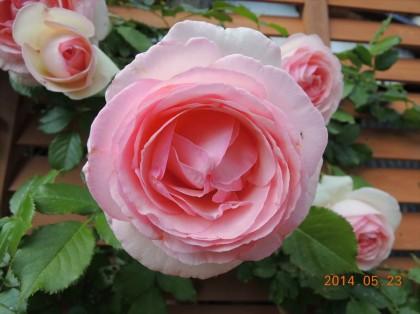 ピエールドゥロンサールが開花5