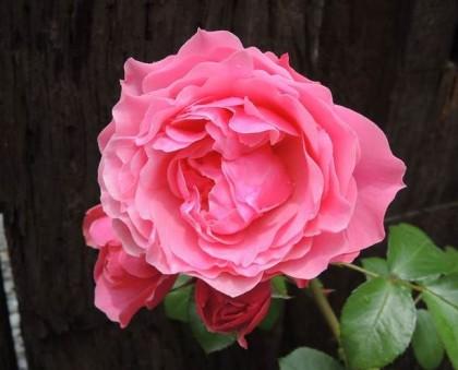 レオナルドダヴィンチの開花6