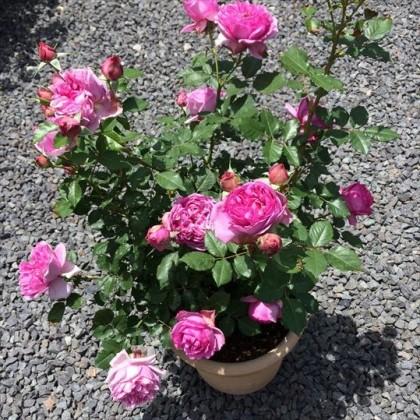 ローズポンパドゥール鉢植え2