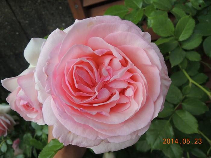 ピエールドゥロンサールが開花7