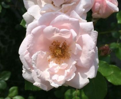 ニュードーンの咲く様子7