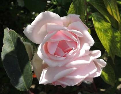ニュードーンの咲く様子2